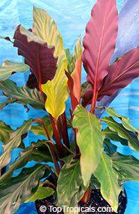 Rufibarba Calathea, Velvet Calathea, pluma de faisán Fuzzy, Pluma Furry Haga clic para ver la imagen a tamaño completo