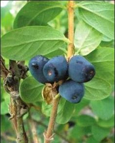 Indigo Yum Haskap A fresh raspberry/blueberry flavour. 2 varieties required for pollination. Very hardy. Full sun. Canadale Nurseries Ltd.