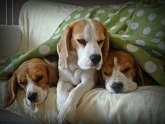 Beags #beagle