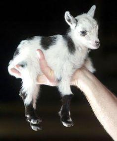 Mini goatie gooooooooooooooooaaaaaattttttttttt!!!!!!!!!!!!!!!!!!!!!!!!!!!!!!!! I want it!!!!!!!