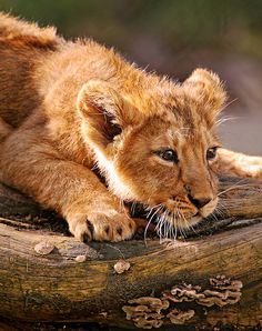 Lion cub (by Emmanuel Keller)---it's been a long day I see Big Cats, Cats And Kittens, Cute Cats, Funny Cats, Beautiful Cats, Animals Beautiful, Cute Baby Animals, Animals And Pets, Wild Animals