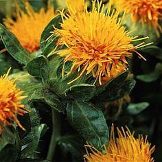 Orange Safflower - Carthamus Tinctorius Flower Seeds fantastic seeds website