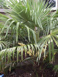 Palm in bloei.in nedeland bij me zusje in de tuin.