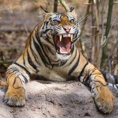 Angry Photo by Big Cats, Cool Cats, Cats And Kittens, Beautiful Cats, Animals Beautiful, Tigre Animal, Animals And Pets, Cute Animals, Cat Species