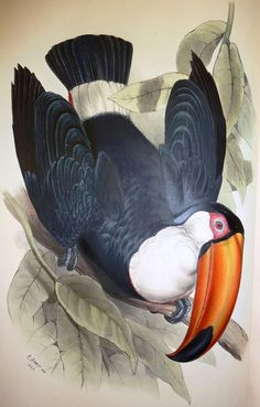 ⭐️John Gould's Monograph of the Ramphastidae, or Family of Toucans, published in 1834. Illustrated by Edward Lear