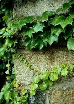 Perhaps the best and most popular vine for use on stone walls and buildings. Shiny green leaves turn red in the fall. Can grow to 60 feet in time. Likes sun o House Plants For Sale, Plants For Sale Online, Most Popular Vines, Boston Ivy, House Plant Delivery, Moss Garden, Planting Bulbs, Aquaponics, Houseplants
