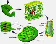 Cloroplasto, solo está en las células vegetales.