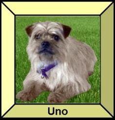 Uno - Puppies for Parole is an #adoptable Brussels Griffon Dog in #StLouis, #MISSOURI. Dogs and puppies looking for furever homes Not looking for the perfect pet owner, but the perfect match K9 Rescue & Reha...