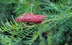 Another Grevillia 'Red Hooks' or Hookeriana. I think this might be 'the one'.