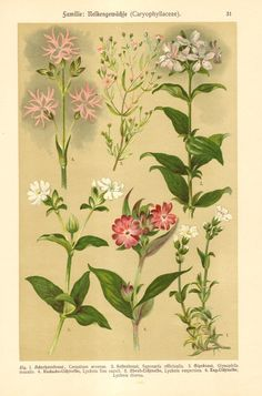 1911 Pink Family Field Chickweed Common by CabinetOfTreasures