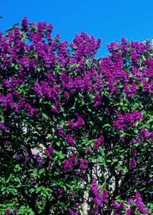 Purple Lilac on Fast Growing Trees Nursery