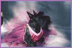 Dog princess | Princess Franny: a very pretty Scottie girl | Scottish Terrier and Dog ...