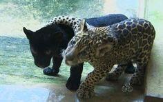 Proximidade das onças fez animais serem transferidos juntos para SP (Foto: Reprodução/TV Amapá)