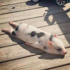 72 Of The Funny Animal Memes To Start The Week With A Smile My colleague's pig, Bacon seed, sun-bathing :))) Cute Baby Pigs, Cute Babies, Baby Piglets, Cute Piglets, Mini Piglets, Cute Little Animals, Cute Funny Animals, Funny Animal Names, Cute Little Things