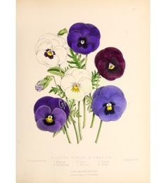 Bedding Violas Pansies - The floral magazine Dombrain H 1861