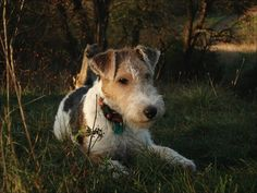 FOX TERRIER A day in the country? Don't mind if I do.