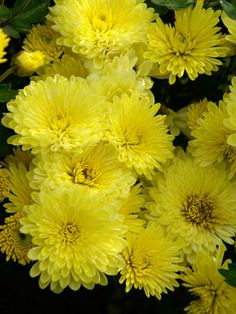 You can't beat the look of Chrysanthemum plants. Easy and bright, Chrysanthemum perennials from Bluestone are unsurpassed. Fall Flowers, Love Flowers, Colorful Flowers, Beautiful Flowers, Simple Flowers, Flowers Garden, Summer Flowers, Beautiful Gardens, Chrysanthemum Flower