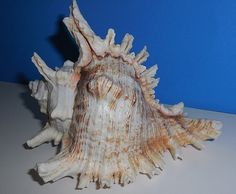 Hey, I found this really awesome Etsy listing at https://www.etsy.com/ca/listing/245764549/seashell-pink-eared-murex-sea-shell