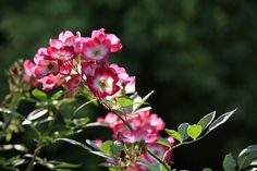 Les rosiers Eglantia® intropi sont des variétés couvre sol intéressantes pour limiter l'entretien du jardin.  ©Arnaud Childeric Plants, Gardens, Beautiful Roses, Garden Care, Rose Trees, Plant, Planets