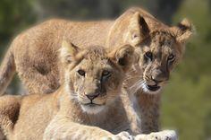 Het is World Lion Day, een dag speciaal ter ere van de 'koning der dieren'. Vandaag zetten we leeuwtjes Marley en Elsa in het zonnetje, die wel heel spannende verrijking hebben gekregen: een sprinkler! Bekijk de video op https://www.aap.nl/nl/news/happy-world-lion-day