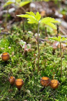 Pikareita sammalikossa - vuokonpahkapikari Dumontinia tuberosa pikari sieni loissieni loinen lehto kevät itiöemä ruskea vastavalo sammalikko vihreä sammal sammalpeite malja maljamainen pohjakerros maassa valkovuokko varsi