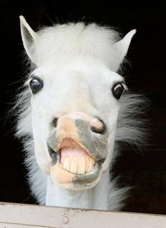 persnickety White Horse, perhaps a Colt, smiling / snorting showing its teeth.