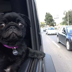 My music so loud; I'm swangin; They hopin that they gon catch pugs ridin dirty Cute Pug Pictures, Pug Photos, Fluffy Animals, Cute Animals, Pug Names, Pugs And Kisses, Black Pug, Animal Crackers, Pug Puppies