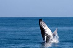 Ver As Baleias Na Baía De Samaná, Na República Dominicana | Viaje Comigo