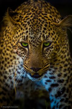 ~~Face to Face ~ Leopard by majed ali~~