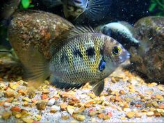 My ten young Etroplus canarensis (Canara Pearl Spots) were obtained last August. Tropical Fish Aquarium, Fish Aquariums, Aquarium Fish Tank, Ocean Ecosystem, Life Under The Sea, African Cichlids, Underwater Life, Oceans Of The World, Angel Fish