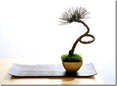 """""""KROMATSU"""" Bonsai with black pine"""