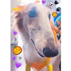 #2017 #美女と野獣 🌹✨. ベルをしたよ〜♪. . ここ1ヶ月、iCloudが故障して写真データが読み込めず1週間以内の写真しか読み込めない状態が続いて、Instagramにup出来なかったけど、治った🏥のでupしていくよ〜♪. . . . . #dog #animal #dogstagram #lovedogs #hound #doglover #instadog #largedog #borzoi #like4like #likeme #likelike #instasize  #russianwolfhound #sighthound #ボルゾイ #サラチカ #さらたん #ワンコ #犬 #愛犬 #大型犬 #Halloween #shibuya #ハロウィン #仮想 #japan #tokyo