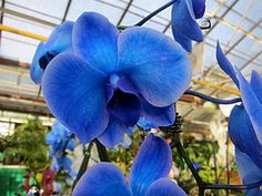 Blue Orchid, I buy these for our Nursery.  Note: Orchids are not blue. They are injected through the stem to do this and loose the blue color over time. However, for a while the flowers come out blue and white in many patterns...so cool to watch the changes!