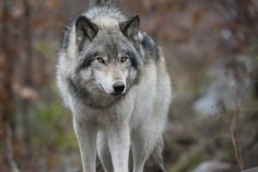 All sizes | Canadian Timber Wolf | Flickr - Photo Sharing!