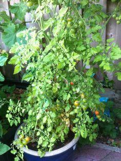 De Snack tomaten beginnen ook langzaam rood te worden.