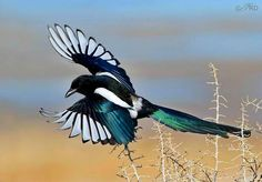 The black-billed magpie (Pica hudsonia),  also known as the American magpie, is a bird in the crow family that inhabits the western half of North America, from southern coastal Alaska to northern California, northern Arizona, northern New Mexico, central Kansas, and Nebraska. via Passarinhando-Birds FB