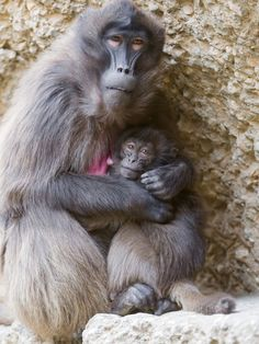 Mother baboon & baby - Nature Blogger