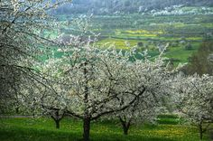 Blooming Cherry by Dhani Barreñor