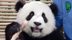 Chengdu, Panda Tour, Volunteer Programs, Day Tours, China, Bear, Travel, Animals, Viajes