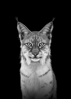 Lynx 50x70 B | Cecilie Sørgård | Plakater og kunst Black Edition, Lynx, Tattoos, Animals, Art, Poster, Kunst, Craft Art, Animaux
