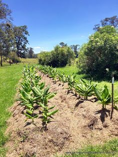 Barrington River Organic Farm: Our new crop of #certifiedorganic #turmeric growing beautifully. Will be available for sale October 2016