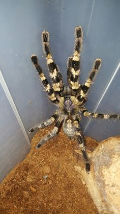 Yellowbacked Ornamental (Poecilotheria smithi) | Tarantulas | Pinterest