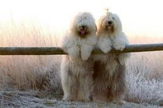 I Love Goldendoodles, see ours at...  teddybeargoldendoodles.com