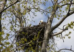 The #DCEagleCam isn't the only place to watch eagle families this spring – April is the start of nesting season here in Maine.