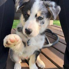 Australian Shepherd Husky, Husky Mix, Puppies, Dogs, Cute, Cubs, Pet Dogs, Kawaii, Doggies