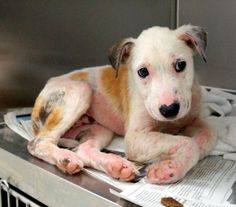 lizardmarsh: Irving TX:CODE RED. Must be tagged by 3PM today May 1. Dog Euthanasia List for Irving Shelter....LAST DAY