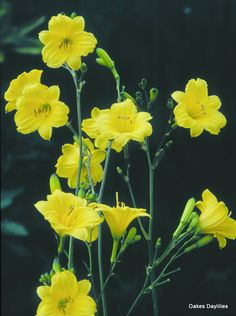 Bitsy -  (Warner, 1963) height 18in (46cm), bloom 1.5in (3.8cm), season EE, Semi-Evergreen, Diploid,  Lemon yellow self with green throat. (Pinocchio × Sooner Gold)