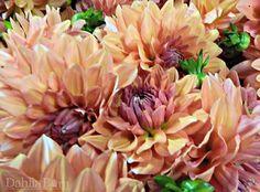 Orange – Coral – 10 stems - Dahlia Barn