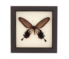 12341596063_a22e8e9aab.jpg (500×333) | Atrophaneura Butterflies ...