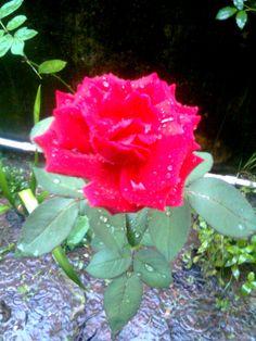 Minha rosa vermelha.